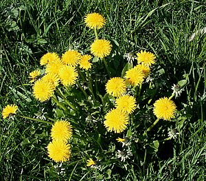 English: Dandelions They're everywhere, but I ...