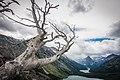 Dead Whitebark Pine - Flickr - GlacierNPS.jpg
