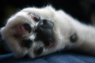 Onychectomy - Close-up of a declawed paw.