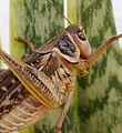 Decticus albifrons. White-faced Bush Cricket. Male - Flickr - gailhampshire.jpg