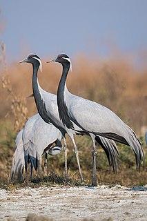 Demoiselle crane species of bird