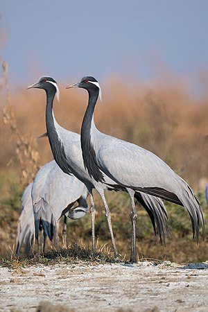 Demoiselle crane - Flock at Tal Chhapar Sanctuary, Churu, Rajasthan