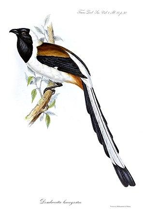 White-bellied treepie - Illustration by John Gould, 1835