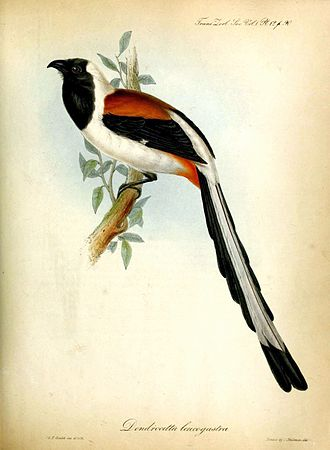 White-bellied treepie - Illustration by John Gould, 1835