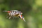 Dendrocopos syriacus flying.jpg