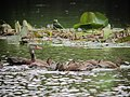 Dendrocygna autumnalis Pisingo Black-bellied Whistling-Duck (6212293121).jpg
