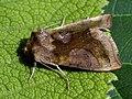 Diachrysia stenochrysis (40397440284).jpg