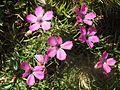Dianthus pavonius.jpg