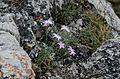 Dianthus plumarius subsp. neilreichii.JPG