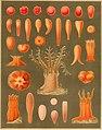 Die gorgoniden des golfes von Neapel, und der angrenzenden meeresabschnitte. Erster theil einer monographie der Anthozoa Alcyonaria (1887) (20738417588).jpg