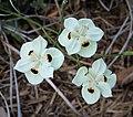 Dietes bicolor. Iridaceae (24671947018).jpg