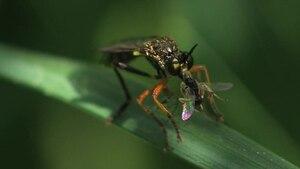File:Dioctria rufipes (eating).ogv
