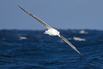 Southern royal albatross - In flight