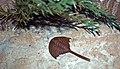 Diorama of a Carboniferous seafloor - Euproops 1 (44692063915).jpg