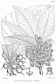 Diploknema butyracea Bra35