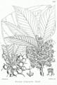 Diploknema butyracea Bra35.png