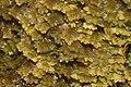 Diplophyllum taxifolium (b, 141237-472401) 4510.JPG