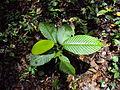 Dipterocarpus bourdillonii 02.JPG