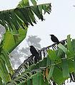 Dives dives, a pair of Melodius Blackbirds (8986649491).jpg