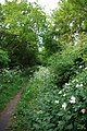 Dog Rose and Trackbed - geograph.org.uk - 1322017.jpg