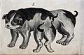 Dog with congenital defects. Lithograph. Wellcome V0022910EBR.jpg