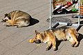Dogs sleeping on street in Santiago, Chile.JPG