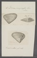 Donax compressa - - Print - Iconographia Zoologica - Special Collections University of Amsterdam - UBAINV0274 078 11 0007.tif