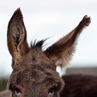 Human vestigiality - Image: Donkey's ear