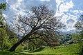 Donnersbach schiefer Baum 02.JPG