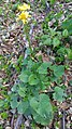 Doroncium sp. Asteraceae 03.jpg