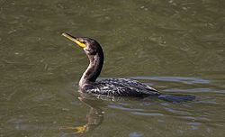 Double-crested Cormorant (15636513732).jpg