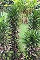 Dracaena deremensis 2zz.jpg