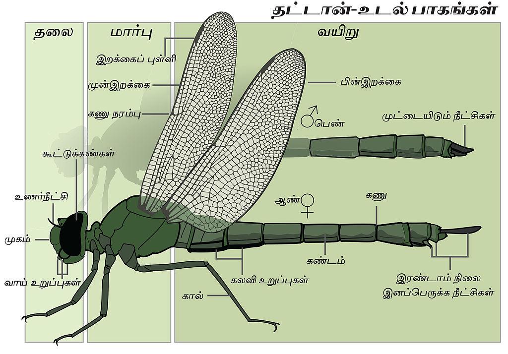 Filedragonfly Anatomy Tamil 2g Wikimedia Commons