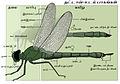 Dragonfly anatomy Tamil-2.jpg