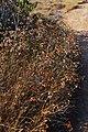 Dried garden (2667172556).jpg