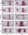 Drosophila gap gene in situ brakeless mutant.png