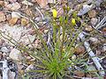 Drosophyllum lusitanicum Habitus 2011-5-22 SierraMadrona.jpg