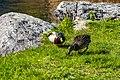 Duck (42300138552).jpg