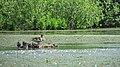 Duck family. May 2014. - Утиное семейство. Май 2014. - panoramio.jpg