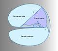Ductus cochlearis schema 2-esp.jpg