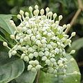 Duperrea pavettifolia-IMG 4431.jpg
