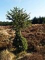 Dwarf spruce, Auldton Fell - geograph.org.uk - 385991.jpg