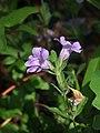 Dyschoriste oblongifolia flower.jpg