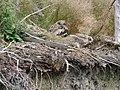 Eagle Owl Chicks.JPG