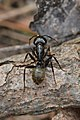 Eastern Black Carpenter Ant (Camponotus pennsylvanicus) - Guelph, Ontario 2017-04-27.jpg