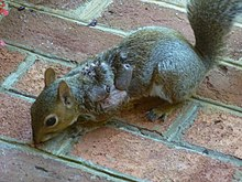 Eastern Gray Squirrel suffering from warbles.jpg