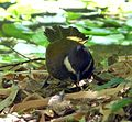 Eastern Whipbird. Male. Psophodes olivaceus - Flickr - gailhampshire.jpg