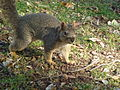 Eastern fox squirrel, Davis, CA.jpg
