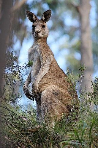 Macropus - Eastern grey kangaroo