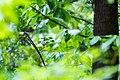Eastern wood-pewee (33986340840).jpg
